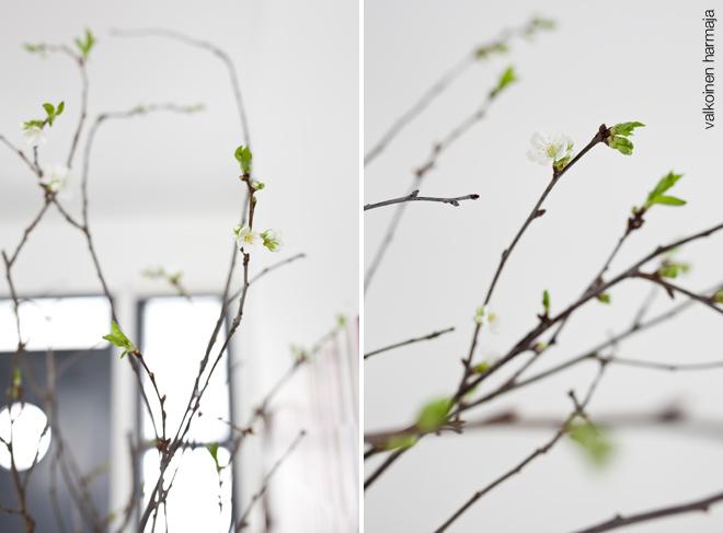 kirsikkapuunoksat