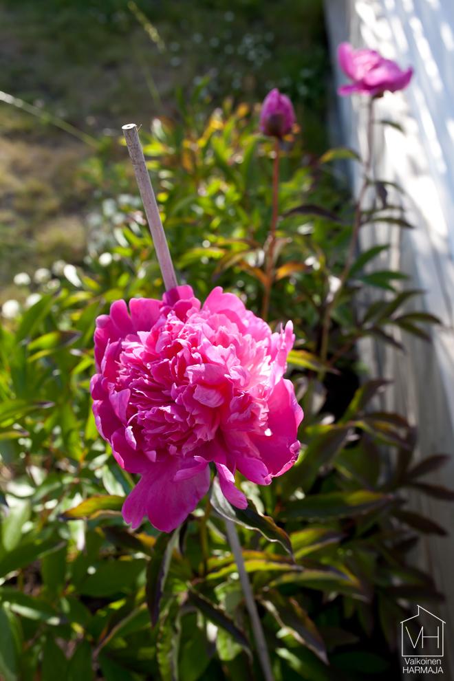 kukkivat_pionit
