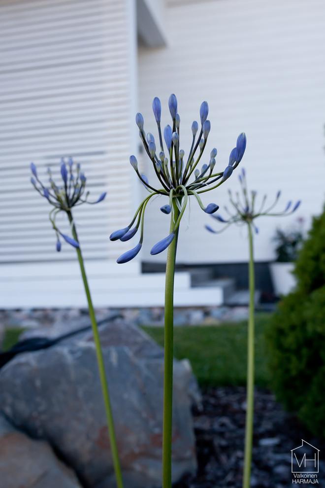 siniset_kukkaset