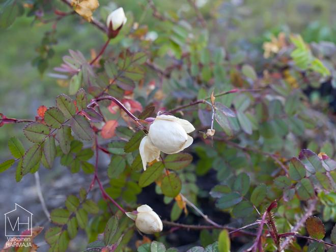 valkoiset_ruusut