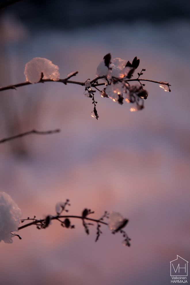 syreenin_oksat_lumessa