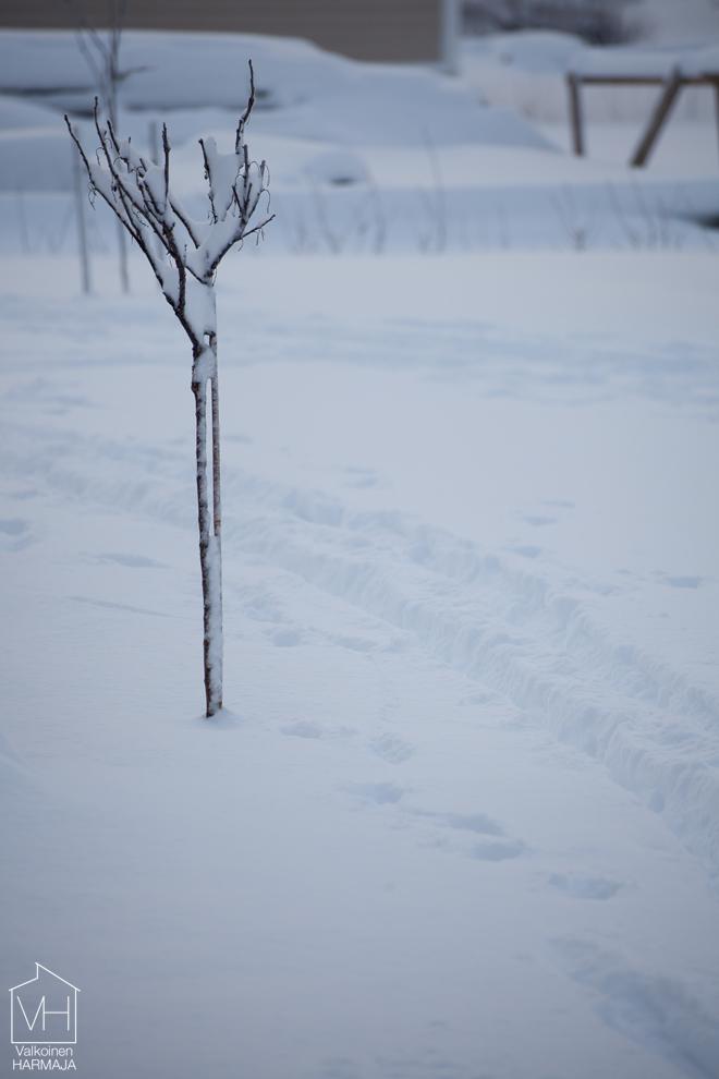 viinimarjapuu_lumi