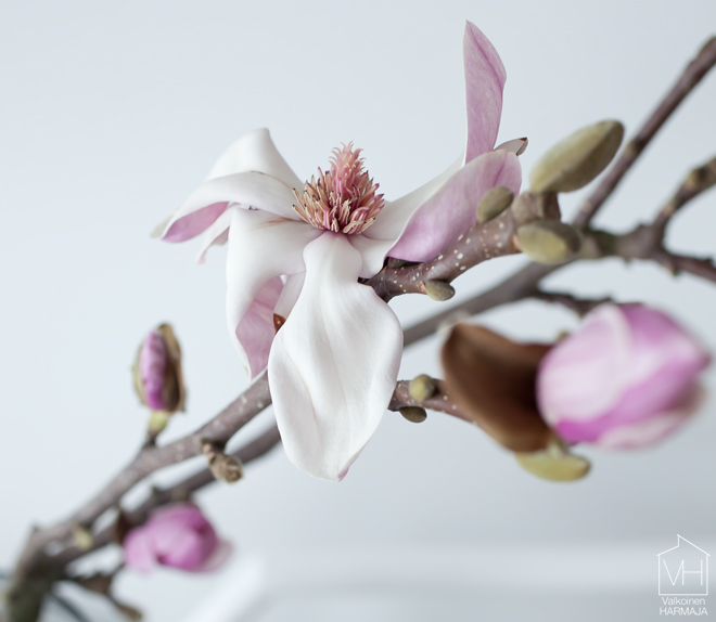 magnolia_branch