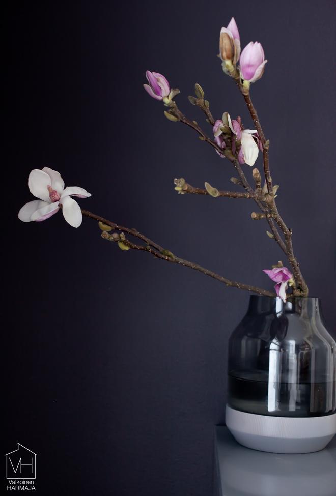 magnolia_oksa