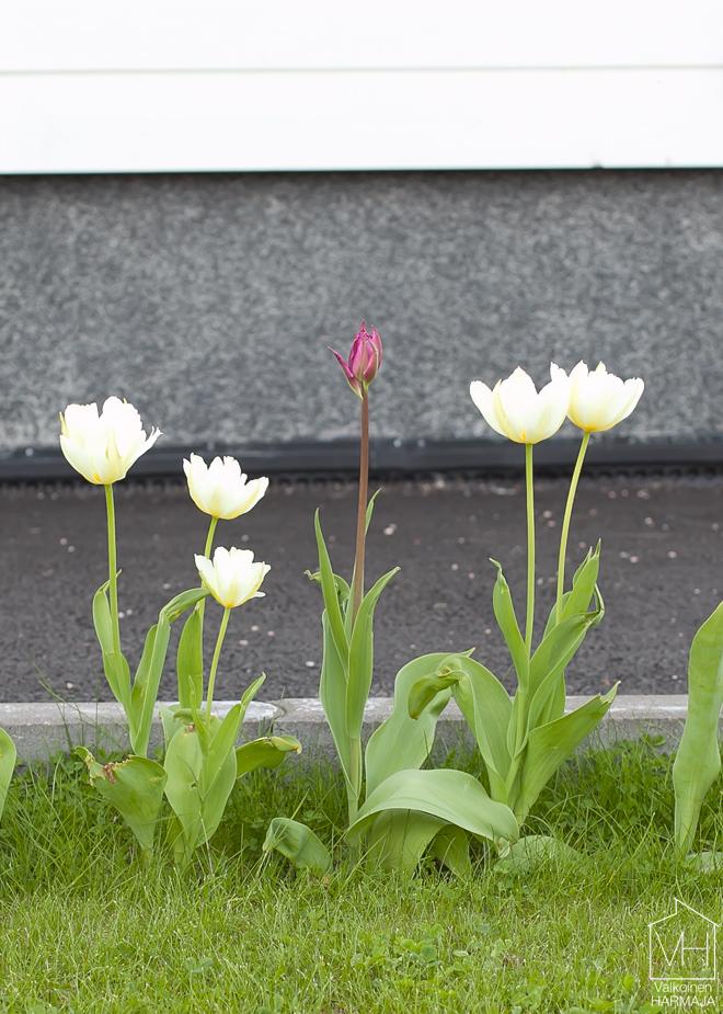 kukkivat_tulppaanit