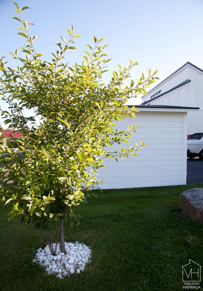 kirsikkapuu